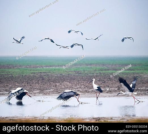 wetland landscape of beautiful oriental white stork, jiangxi poyang lake national nature reserve, China