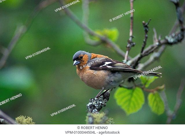 FRINGILLA COELEBSCHAFFINCH - EUROPEAN CHAFFINCH - COMMON CHAFFINCHMALE IN TREE