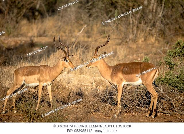 Two Impala rams facing each other in the Kruger National Park, South Africa