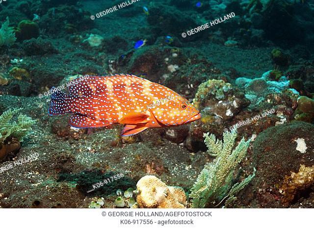 Coral hind Cephalopholis miniata over vulcanic sand in Bali  Indonesia  Digital capture