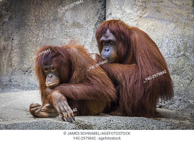 Bornean Orang-utan at the Lowry Park Zoo in Tampa Florida UNited States