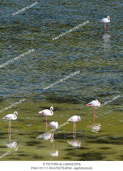 06 November 2019, Turkey, Didim: Flamingos are in Lake Bafa. The water is an inland lake on the west coast of Turkey, formed from a former estuary