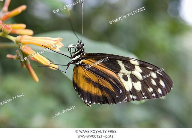 Isabella butterfly Eueides isabella feeding on a flower, Niagara Butterfly Conservatory, Niagara Falls, Ontario, Canada