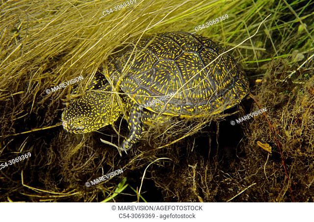 Freshwater Rivers. European pond turtle (Emys orbicularis). Rio Avia. Galicia. Spain. Europe