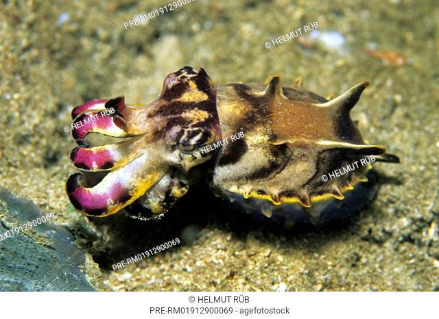 Pfeffer's Flamboyant Cuttlefish, Flamboyant cuttlefish, Metasepia pfefferi