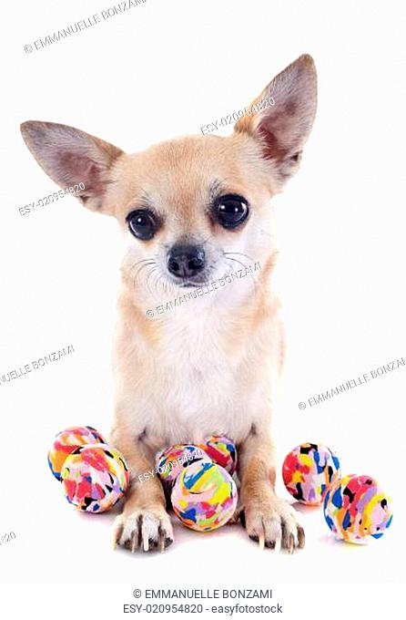 puppy chihuahua and balls