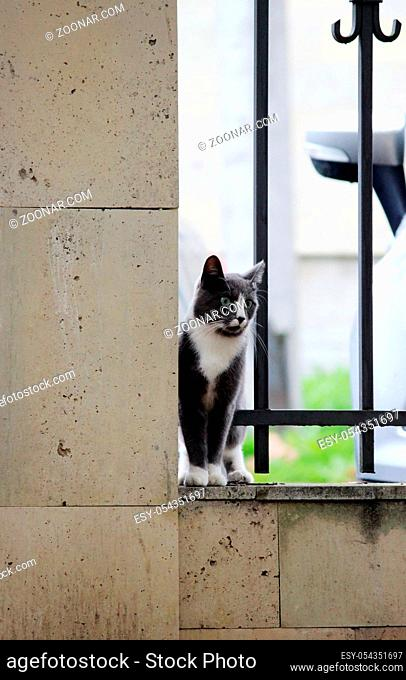 gray cat with white paws hugging grille enthusiastically looking at bird