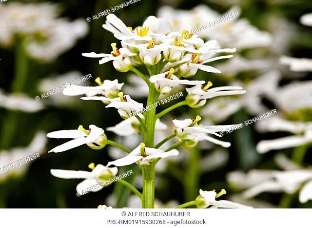 Blooming Perennial Candytuft, Iberis saxatilis, Austria, Europe / Blüten der Schleifenblume, Iberis saxatilis, Österreich, Europa