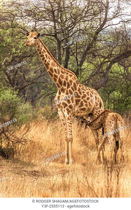 A female giraffe stands quietly amongst acacia trees as she suckles her calf.The giraffe is an African even-toed ungulate mammal, the tallest living terrestrial