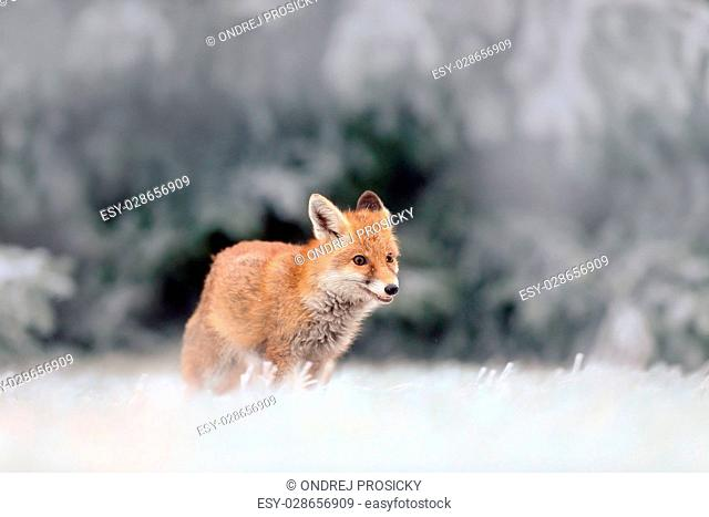 Red Fox in snow winter