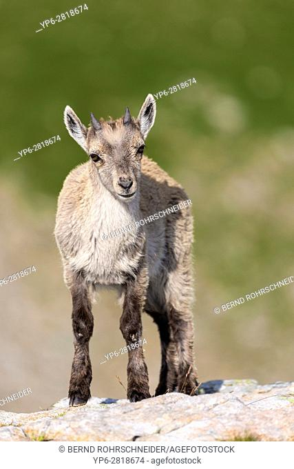 Alpine Ibex (Capra ibex), young standing on rock, Niederhorn, Bernese Oberland, Switzerland