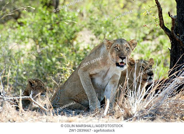 Female Lion (Panthera leo) standing up next to cub, Kruger National Park, Transvaal, South Africa