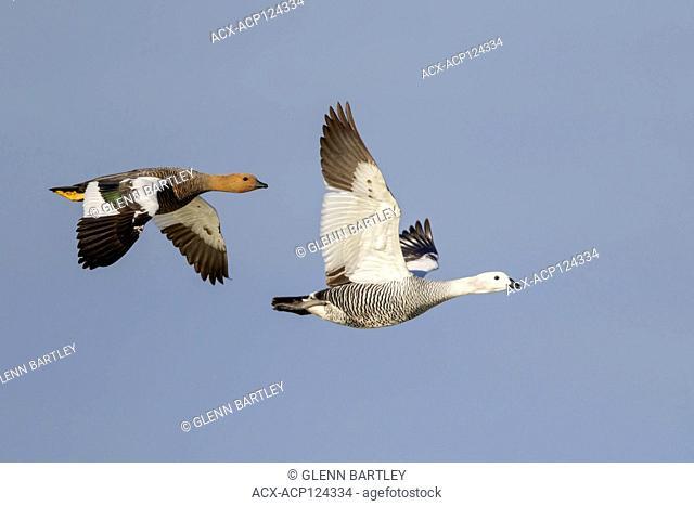 Upland Goose (Chloephaga picta) flying in Chile