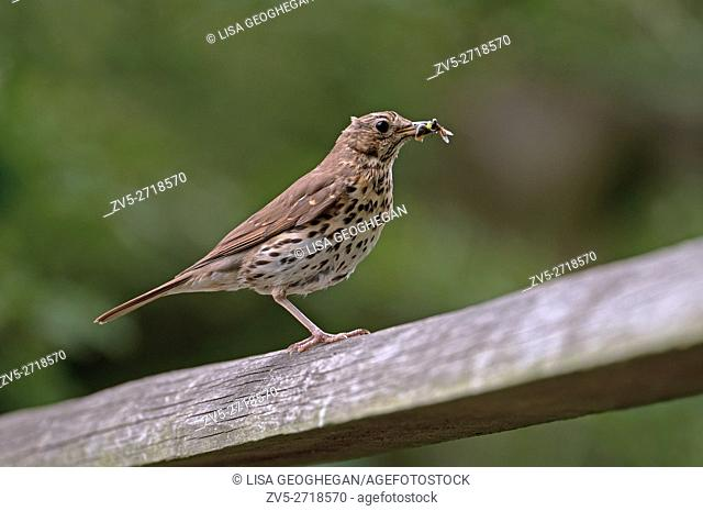 Song Thrush-Turdus philomelos feeds on insects. Uk