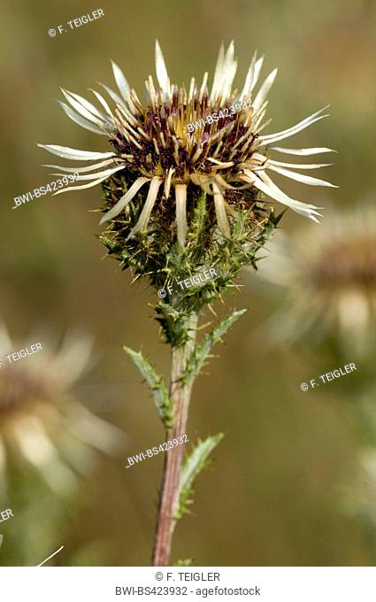 Carline thistle (Carlina vulgaris), blooming, Germany