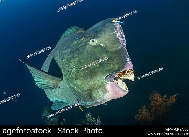 Green Humphead Parrotfish, Bolbometopon muricatum, Bali, Indonesia