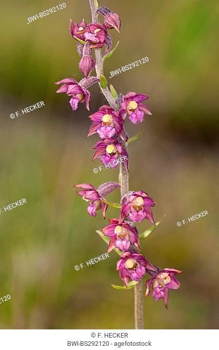 dark-red helleborine, royal helleborine (Epipactis atrorubens, Serapias atrorubens), flowers, Germany