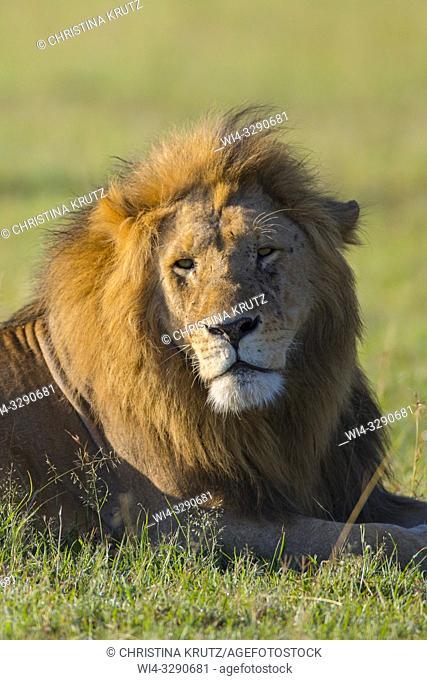 African Lion (Panthera leo), male lying in grass, Maasai Mara National Reserve, Kenya, Africa