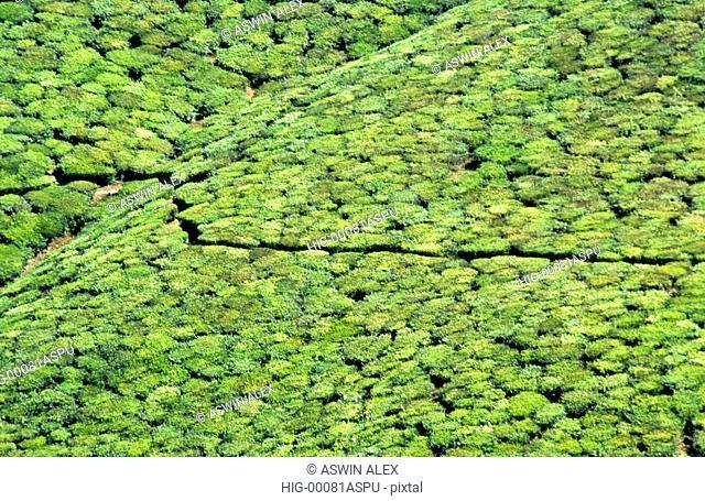 TEA PLANTATIONS,KERALA, INDIA