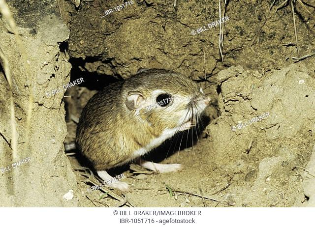 Ord's Kangaroo Rat (Dipodomys ordii), adult leaving burrow in desert, Starr County, Rio Grande Valley, Texas, USA