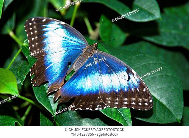 Common Morpho Butterflies Morpho peleides