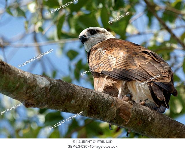 Bird of prey, Hawk-beautiful, Pantanal, Mato Grosso do Sul, Brazil