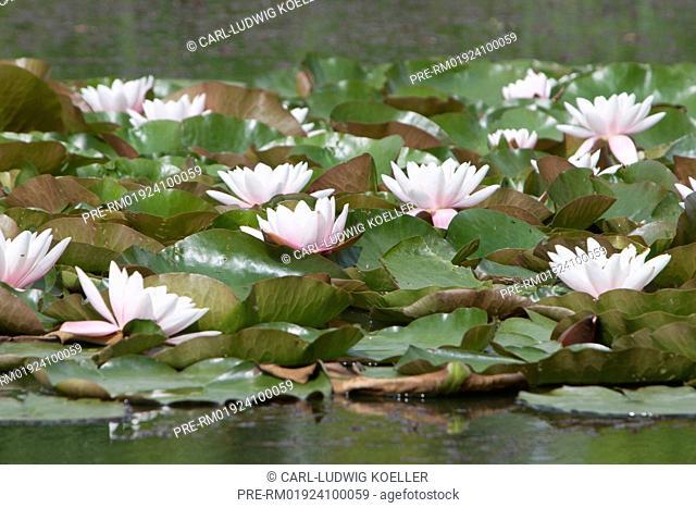 Water lilies, Feldberger Seenlandschaft, Mecklenburgische Seenplatte district, Mecklenburg-Vorpommern, Germany / Seerosen, Feldberger Seenlandschaft