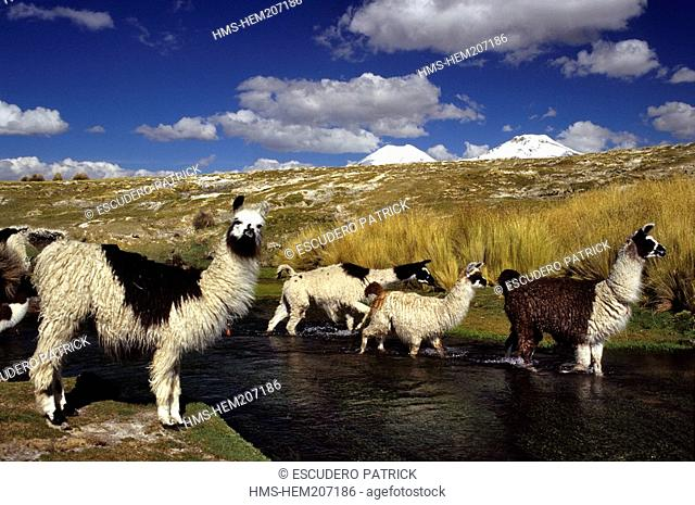 Bolivia, Oruro department, Sajama province, Sajama National Park, llamas crossing a river at the foot of Pomerape and Parinacota volcanoes