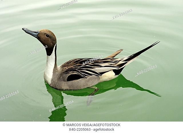 Male Northern Pintail (Anas acuta)