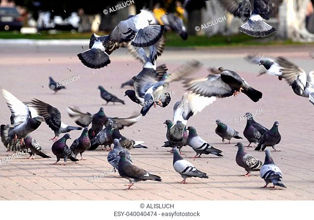 A flock of pigeons in a summer Park fun on the fly bite seeds from the earth