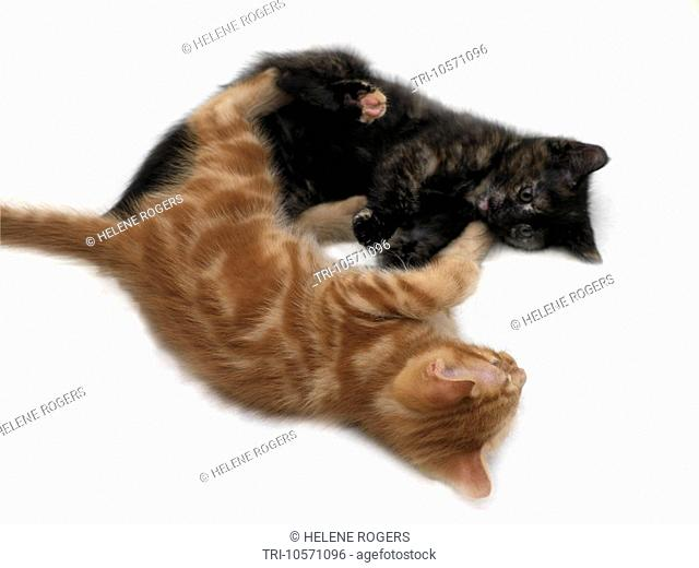 Two Kittens Play Fighting