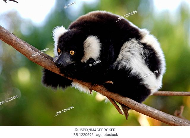 Black and White Ruffed Lemur (Lemur variegatus variegatus)