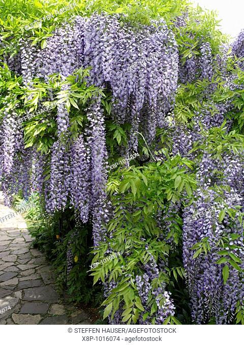 Japanese wisteria Wisteria floribunda
