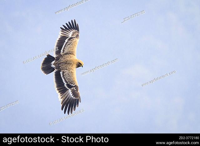Juvenile Steppe Eagle (Aquila nipalensis) flying over a valley. Nepal