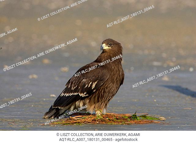 Greater Spotted Eagle juvenile on the ground Iran, Greater Spotted Eagle, Clanga clanga