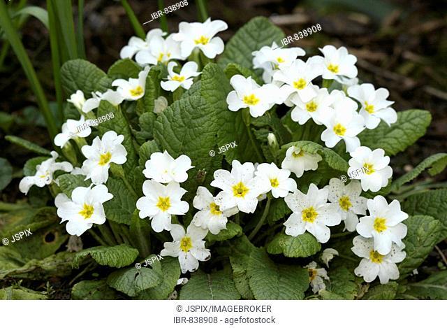 White blossoms of the Primrose (Primula vulgaris)
