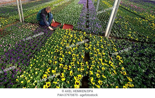 Gardener Frank Stender sits in a field of pansies at the market garden 'Stender' in Hamburg, Germany, 07 March 2013. The pansies will be planted at the garden...
