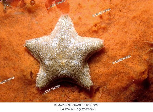 Starfish (Asterina gibbosa). Ria of Vigo, Pontevedra province, Galicia, Spain