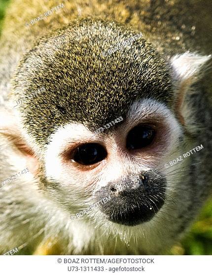 portrait of a squirrel monkey