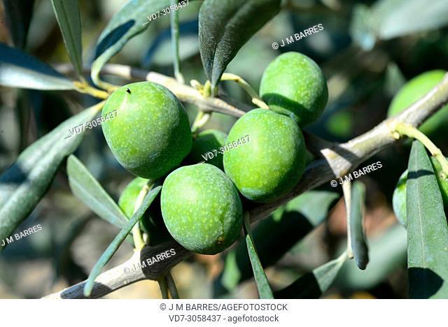 Olive tree (Olea europaea europaea). Fruits manzanilla sevillana variety and leaves detail