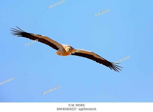 Egyptian vulture (Neophron percnopterus), in flight, Canary Islands, Fuerteventura