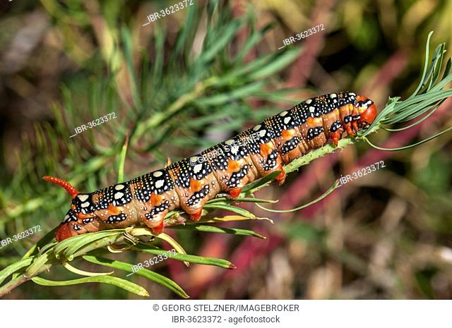 Spurge Hawk-moth (Hyles euphorbiae), caterpillar feeding on its food plant, a Cypress Spurge (Euphorbia cyparissias), Hesse, Germany