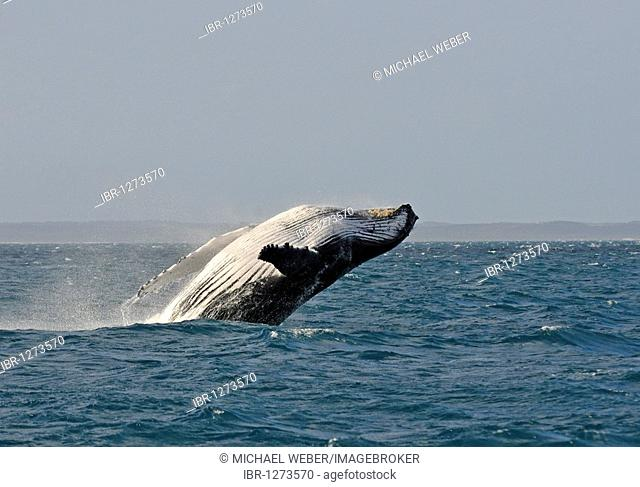 Typical breach, breaching, screw jump, Humpback Whale (Megaptera novaeangliae), Hervey Bay, Fraser Island at back, Queensland, Australia