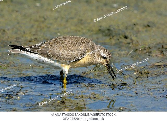 Red Knot (Calidris canutus), Greece