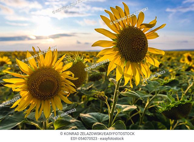 Sunflowers on a large field in Rezina District of Moldova