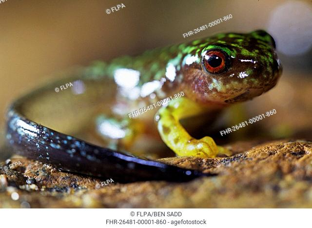 Copan Brook Frog (Duellmanohyla soralia) metamorphosing froglet with tail, in cloudforest, Cusuco N.P., Sierra del Merendon, Honduras, July