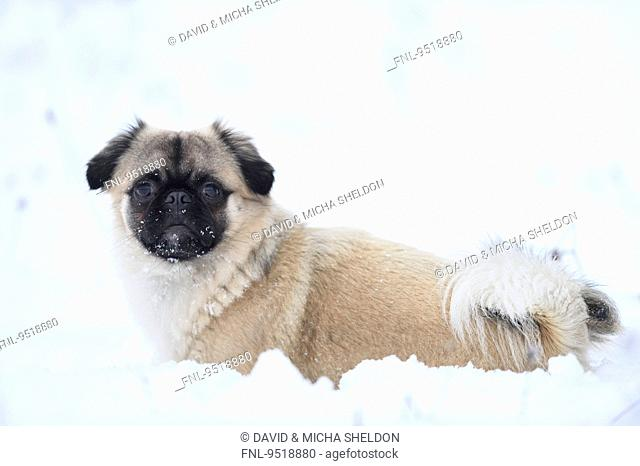 Chihuahua and pug mix dog in snow