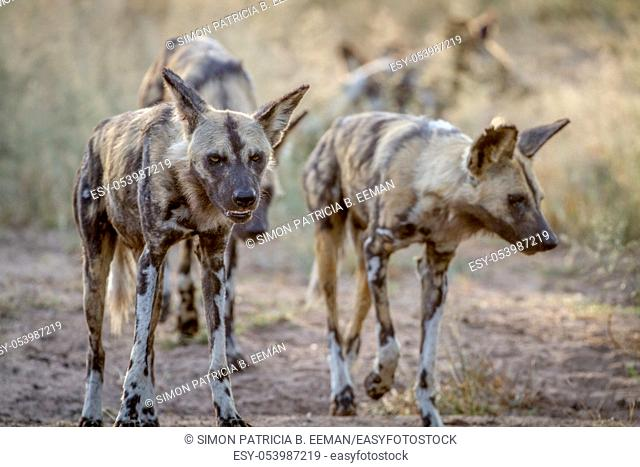 African wild dogs walking towards the camera in the Kruger National Park, South Africa