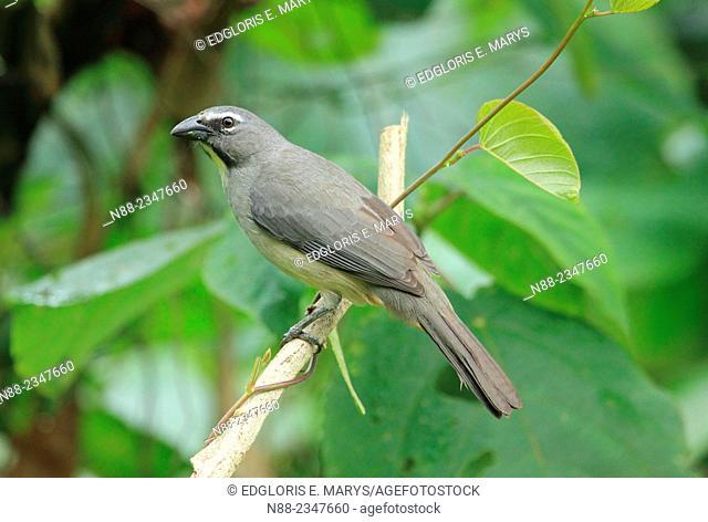 Southern Greyish Saltator Saltator coerulescens, Lechosero ajicero Venezuela