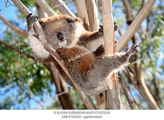 Koala sleeping in a gumtree. Great Otway National Park, Victoria, Australia